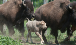 White bison calf is born June 2012