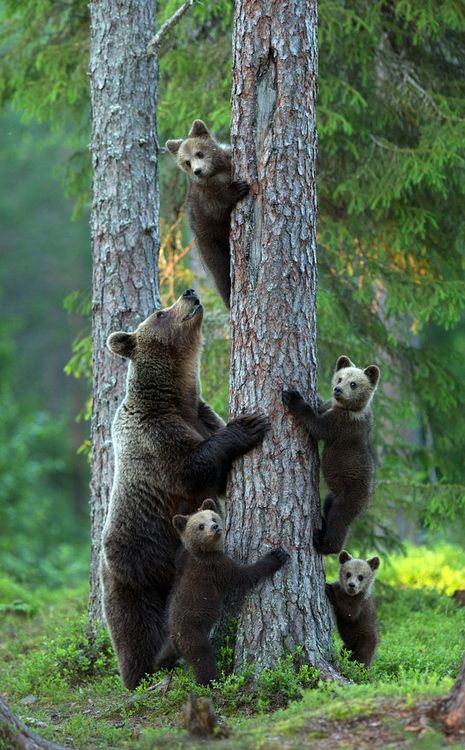 bear and cubs image