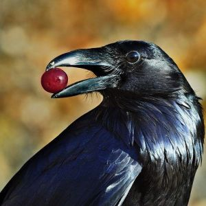 raven image