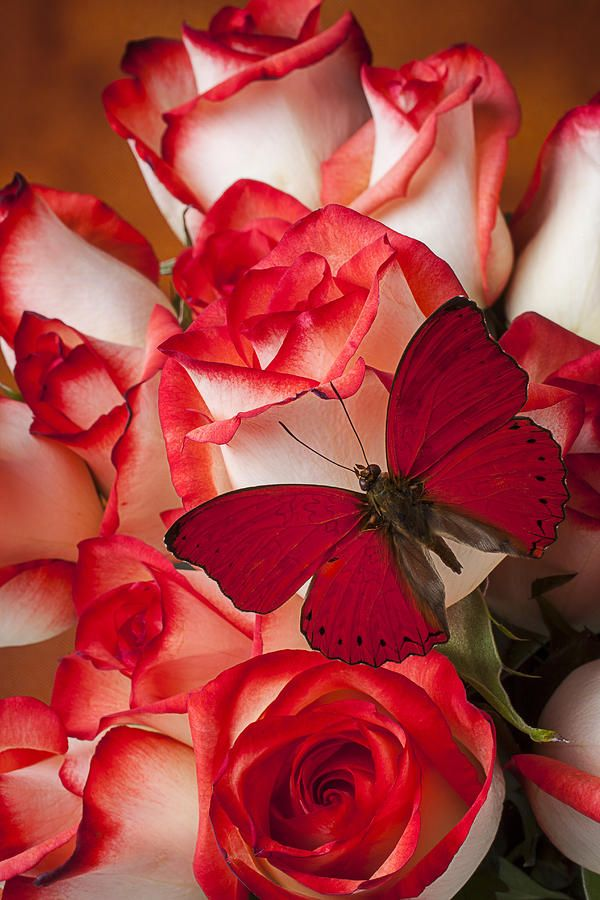 red rose red butterfly image
