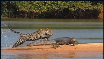 Jaguar Crocodile image