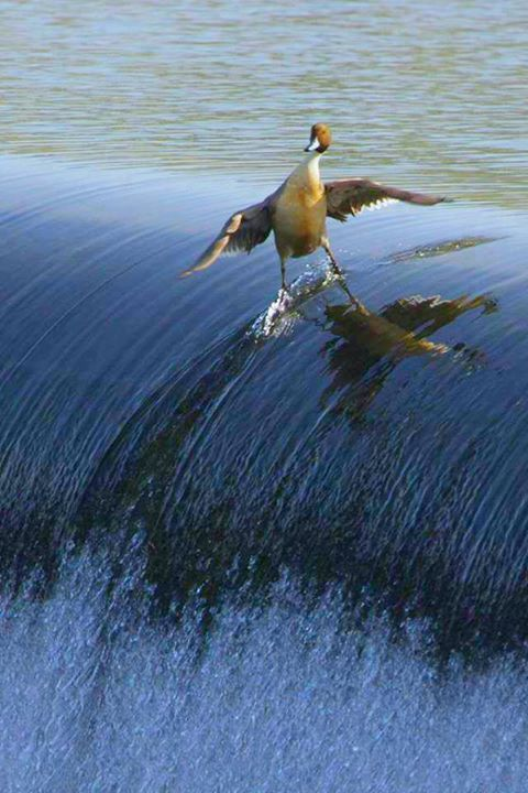 duck surfing