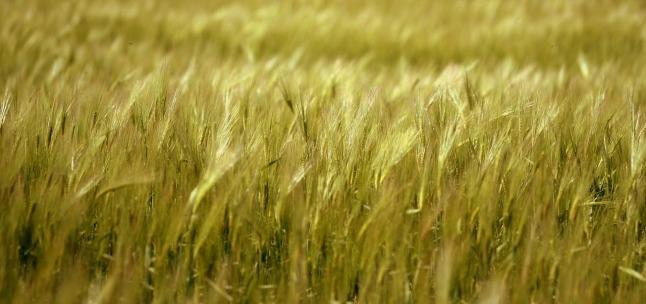 barley_1280