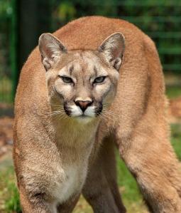 cougar_1280
