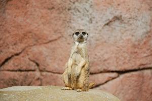 meerkat_1280
