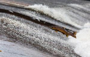 salmon_1280