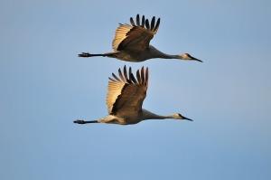 sandhill-cranes_1280