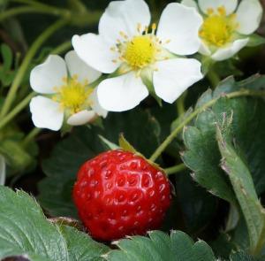 strawberry_1280