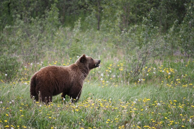 grizzly-73505_1280-copy