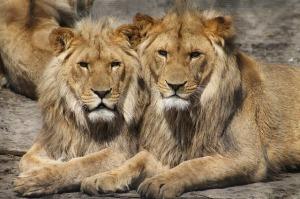 lions_640