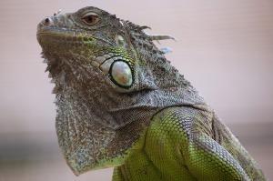 lizard_640