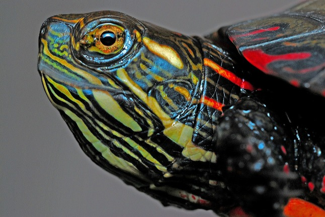 painted-turtle_1280