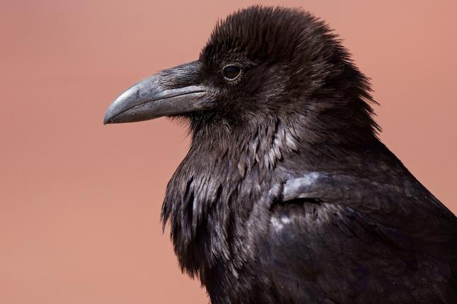 raven_1280