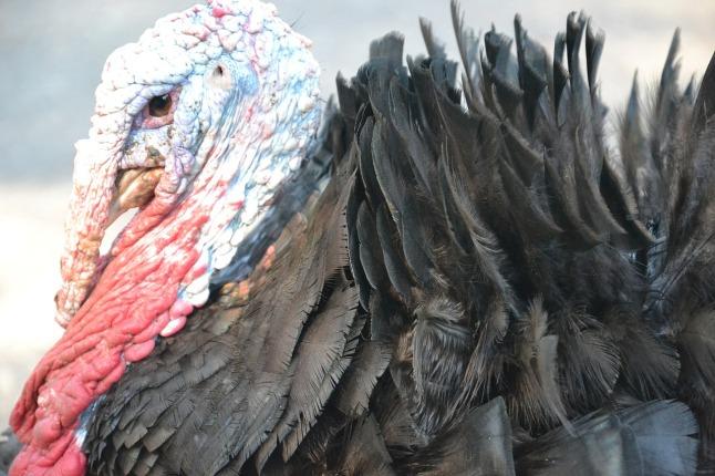 turkey_1280