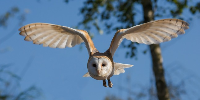 barn-owl_1280