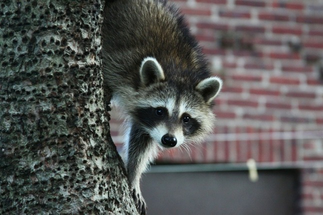 raccoon_1280
