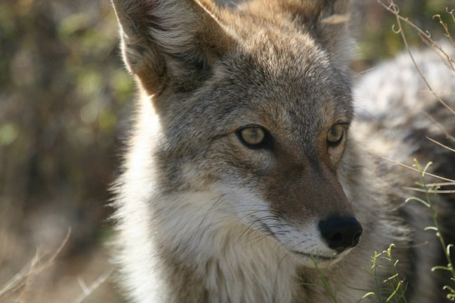 coyote_1280