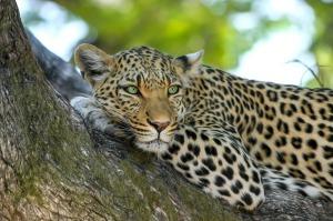 leopard_1280