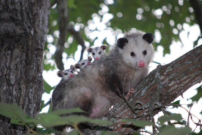 possum-1802326_1280