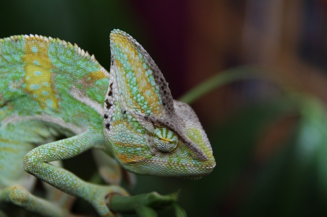 sleeping-chameleon-202417_1280