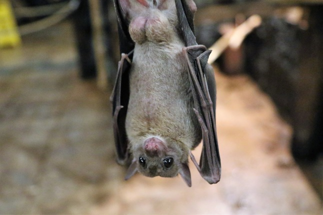 fruit-bat-1582189_1280
