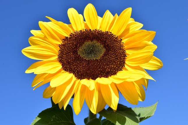 sun-flower-1627179_1280