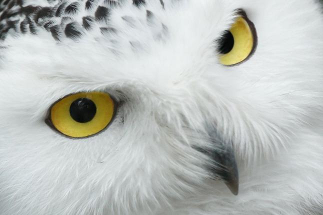 owl_1280