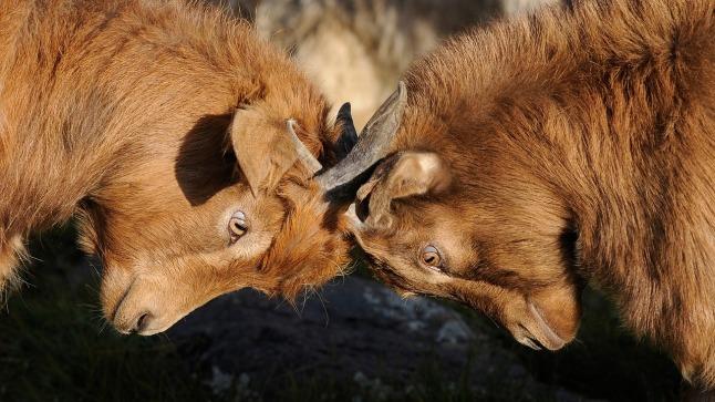 goats-head butting