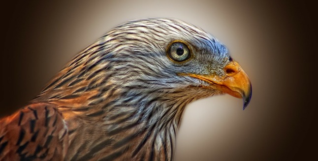 animal bird-red-kite