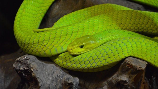 animal-creeper-green-mamba