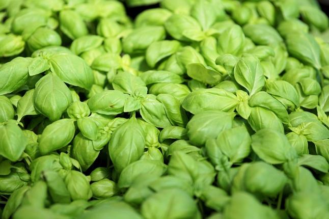 plant-herb-basil