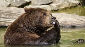 brown bear-totem