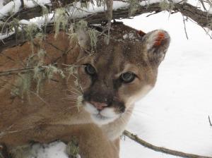 cougar-totem