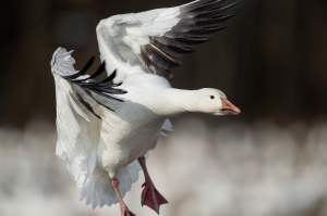 snow-goose