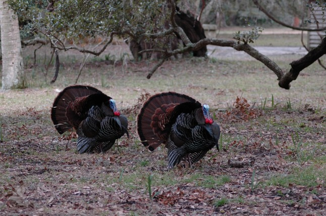 turkeys-wild