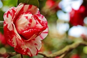 camellia-3327241_1280