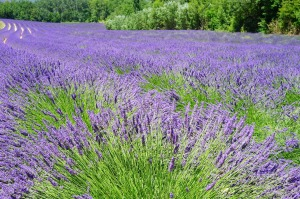 lavender-field-1595598_1280