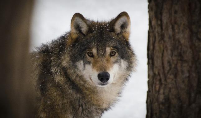 wolf-2106894_1280