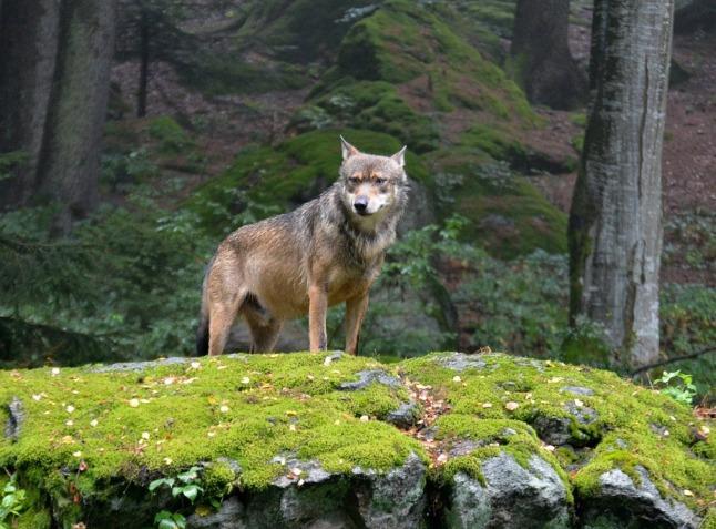 autonomy wolf-1280