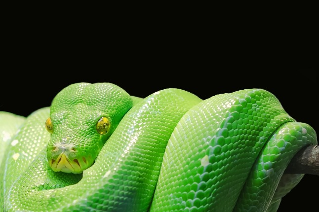 snake-green-tree-python-1280
